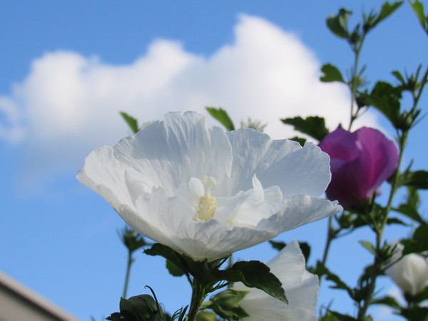 A white chiffon, Rose of Sharon, in bloom.<br /> <br /> Photographer's Name: Harry Van Noy<br /> Photographer's City and State: Lafayette Township, Ind.