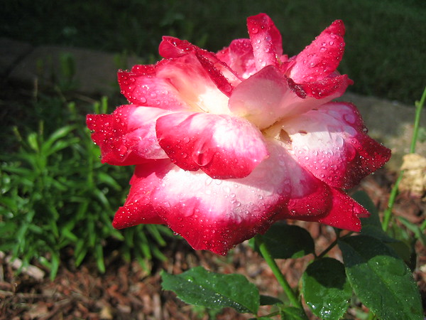 Morning dew on a cherry parfait rose.<br /> <br /> Photographer's Name: Rex Rice<br /> Photographer's City and State: Middletown, Ind.