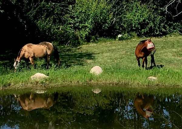 Our horses visiting the pond.<br /> <br /> Photographer's Name: J.R. Rosencrans<br /> Photographer's City and State: Alexandria, Ind.