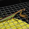 A praying mantis in our garden.<br /> <br /> Photographer's Name: Rex Rice<br /> Photographer's City and State: Middletown, Ind.