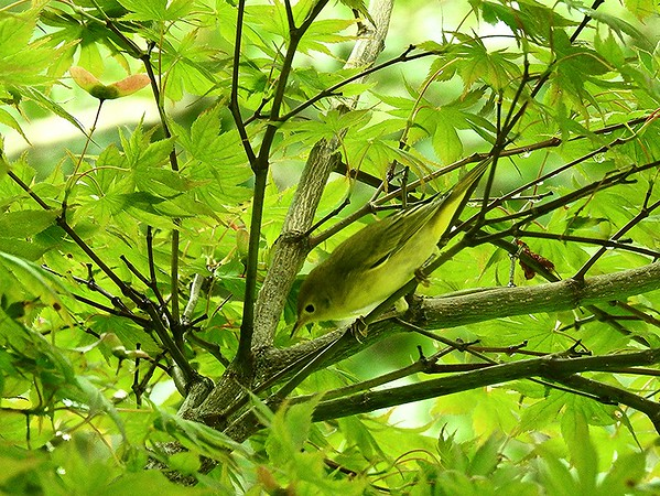 A female yellow warbler blending in with new leaves.<br /> <br /> Photographer's Name: Sharon Markle<br /> Photographer's City and State: Markleville, Ind.