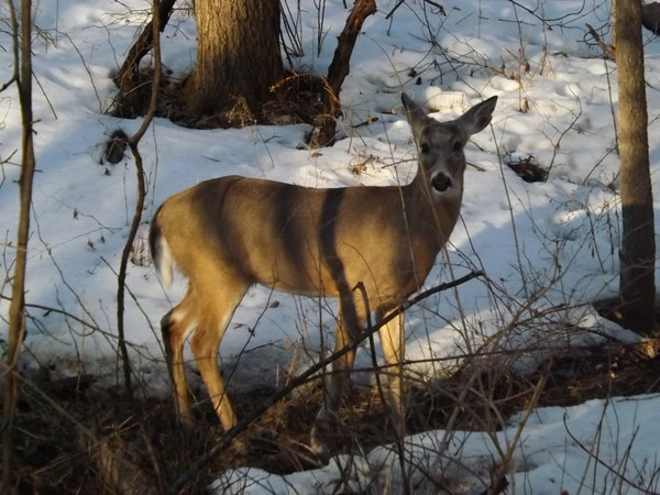 A deer standing in my woods in Richland Township.<br /> <br /> Photographer's Name: J.R. Rosencrans<br /> Photographer's City and State: Alexandria, Ind.