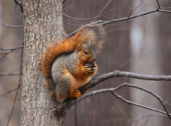 A fat squirrel at Mounds State Park is gearing up for winter.  Photographer's Name: Jerry Byard Photographer's City and State: Anderson, Ind.