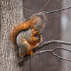 A fat squirrel at Mounds State Park is gearing up for winter.<br /> <br /> Photographer's Name: Jerry Byard<br /> Photographer's City and State: Anderson, Ind.