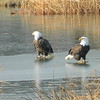 Bald eagles at Pine Lakes in Pendleton.<br /> <br /> Photographer's Name: Jet Zeigler<br /> Photographer's City and State: Pendleton, Ind.