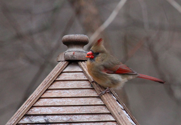 A female cardinal at Mounds Park is enjoying the feeder.  Photographer's Name: Jerry Byard Photographer's City and State: Anderson, Ind.
