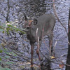 A deer walking in Killbuck Creek in Richland Township.<br /> <br /> Photographer's Name: J.R. Rosencrans<br /> Photographer's City and State: Alexandria, Ind.