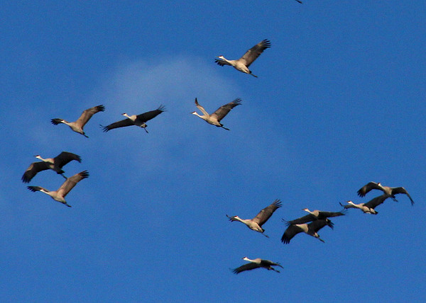 I was fortunate to capture these sand hill Cranes heading south while driving north of Anderson.<br /> <br /> Photographer's Name: Jerry Byard<br /> Photographer's City and State: Anderson, Ind.