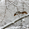 A squirrel at Mounds Park leaping on a limb.<br /> <br /> Photographer's Name: Jerry Byard<br /> Photographer's City and State: Anderson, Ind.