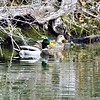 December ducks on the White River.<br /> <br /> Photographer's Name: J.R. Rosencrans<br /> Photographer's City and State: Alexandria, Ind.