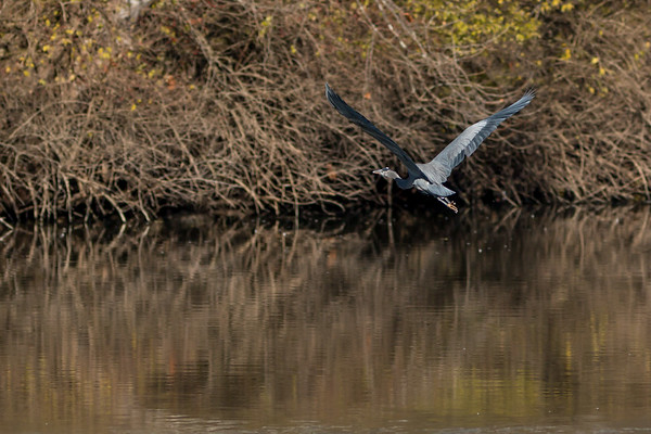 A great blue heron flying for the trees at Shadyside on Dec 1.<br /> <br /> Photographer's Name: Ruby Northcutt<br /> Photographer's City and State: Anderson, Ind.