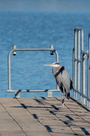A great blue heron enjoying the sunshine on the pier at the Activity Center at Shadyside on Dec 1.<br /> <br /> Photographer's Name: Ruby Northcutt<br /> Photographer's City and State: Anderson, Ind.