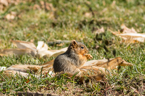 This little squirrel was enjoying a lunch of corn at Bobber's Cafe on Dec 1.<br /> <br /> Photographer's Name: Ruby Northcutt<br /> Photographer's City and State: Anderson, Ind.