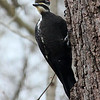 A pileated woodpecker clinging to a tree by the Nature Center at Mounds Park.<br /> <br /> Photographer's Name: Jerry Byard<br /> Photographer's City and State: Anderson, Ind.
