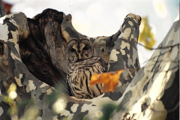 An owl in a tree.<br /> <br /> Photographer's Name: Ron Crider<br /> Photographer's City and State: Anderson, Ind.
