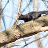A black squirrel playing at Shadyside on Dec 1.<br /> <br /> Photographer's Name: Ruby Northcutt<br /> Photographer's City and State: Anderson, Ind.