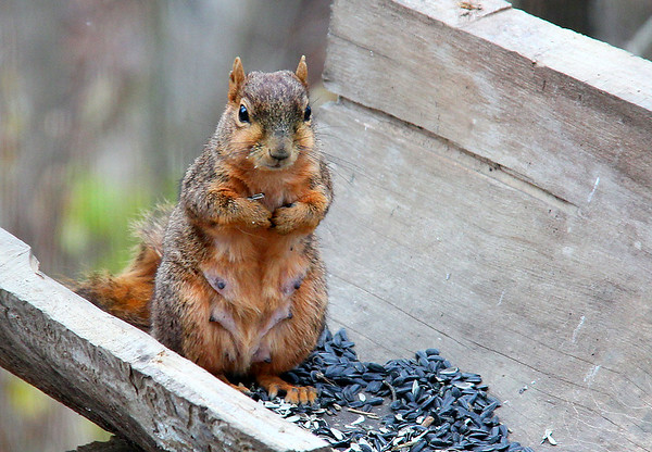 A squirrel enjoying sunflower seeds at Mounds Park.<br /> <br /> Photographer's Name: Jerry Byard<br /> Photographer's City and State: Anderson, Ind.