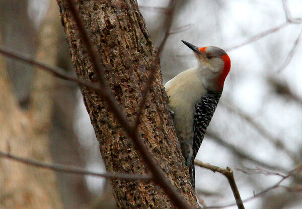 A red-bellied woodpecker at Mounds Park near the Nature Center.<br /> <br /> Photographer's Name: Jerry Byard<br /> Photographer's City and State: Anderson, Ind.