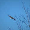 Eagle flying over my farm in Richland Township.<br /> <br /> Photographer's Name: J.R. Rosencrans<br /> Photographer's City and State: Alexandria, Ind.