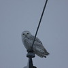 An arctic snow owl in Lafayette Township.<br /> <br /> Photographer's Name: Michael Coryell<br /> Photographer's City and State: Anderson, Ind.