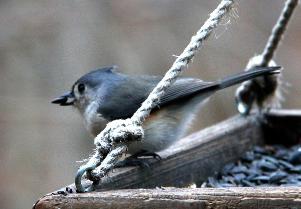 A tufted titmouse grabs a seed from a feeder at Mounds Park.<br /> <br /> Photographer's Name: Jerry Byard<br /> Photographer's City and State: Anderson, Ind.