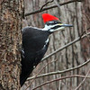 A pileated woodpecker hanging on at tree at Mounds Park.<br /> <br /> Photographer's Name: Jerry Byard<br /> Photographer's City and State: Anderson, Ind.