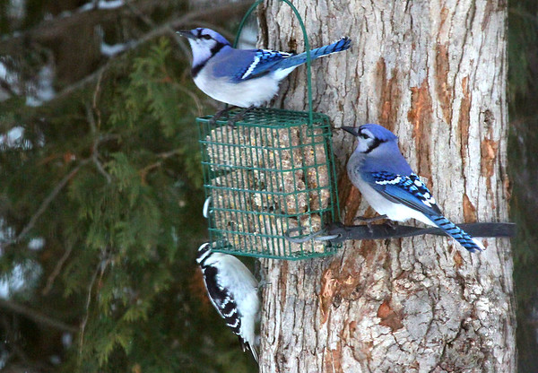 Blue jays and a woodpecker at the suet feeder at a friend's home in Michigan.<br /> <br /> Photographer's Name: Jerry Byard<br /> Photographer's City and State: Anderson, Ind.