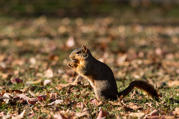 A squirrel having breakfast at Mounds State Park on Dec 1.<br /> <br /> Photographer's Name: Ruby Northcutt<br /> Photographer's City and State: Anderson, Ind.