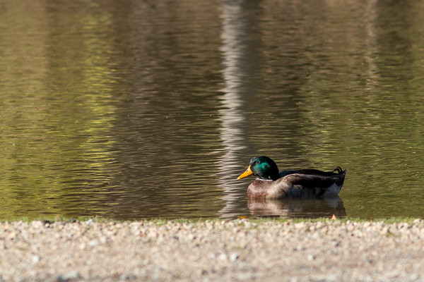 Shadyside was a great place for Mallards on Dec 1.<br /> <br /> Photographer's Name: Ruby Northcutt<br /> Photographer's City and State: Anderson, Ind.