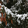 Pine cones and an evergreen tree in Michigan were loaded with a fresh snow.<br /> <br /> Photographer's Name: Jerry Byard<br /> Photographer's City and State: Anderson, Ind.