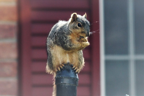 A squirrel taking a break.<br /> <br /> Photographer's Name: Mike Brown<br /> Photographer's City and State: Anderson, Ind.