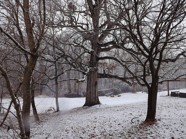 Little snow on big trees at my farm in Richland Township.<br /> <br /> Photographer's Name: J.R. Rosencrans<br /> Photographer's City and State: Alexandria, Ind.