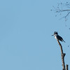 A belted kingfisher enjoying the sun at Shadyside.<br /> <br /> Photographer's Name: Ruby Northcutt<br /> Photographer's City and State: Anderson, Ind.