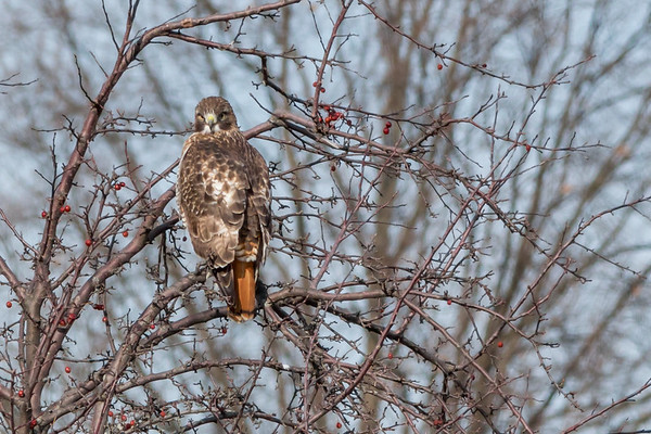 A red-tailed hawk keeping close watch!<br /> <br /> Photographer's Name: Ruby Northcutt<br /> Photographer's City and State: Anderson, Ind.