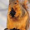 A squirrel eating out, on a 20-degree December day.<br /> <br /> Photographer's Name: Harry Van Noy<br /> Photographer's City and State: Lafayette Township, Ind.