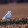 A snowy owl in North Anderson. There are a lot of these visiting the state this year from the arctic tundra. Keep your eyes open on top of utility poles or sitting in fields.<br /> <br /> Photographer's Name: Jeff Timmons<br /> Photographer's City and State: Anderson, Ind.