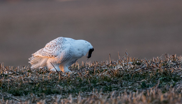 Snowy Owl in North Anderson. Not a great picture but they are great for rodent control. Make sure not to use rodent poison as it will kill raptors.<br /> <br /> Photographer's Name: Jeff Timmons<br /> Photographer's City and State: Anderson, Ind.