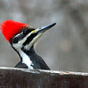 A close look at a pileated woodpecker at Mounds Park.<br /> <br /> Photographer's Name: Jerry Byard<br /> Photographer's City and State: Anderson, Ind.