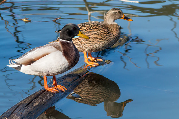 Sunbathing Mallard pair at Shadyside on Dec 1.<br /> <br /> Photographer's Name: Ruby Northcutt<br /> Photographer's City and State: Anderson, Ind.