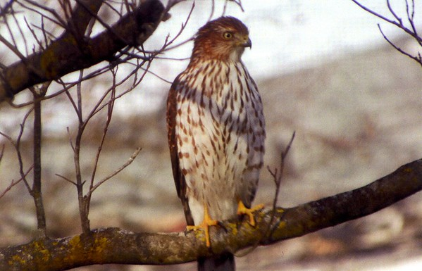 A cooper hawk. Photo taken in November 2017.<br /> <br /> Photographer's Name: Billy England<br /> Photographer's City and State: Anderson, Ind.