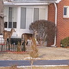 Deer from Mounds Park visiting their neighbors across the street.<br /> <br /> Photographer's Name: Pete Domery<br /> Photographer's City and State: Markleville, Ind.