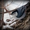 A nuthatch on a winter day.<br /> <br /> Photographer's Name: Debra Howell<br /> Photographer's City and State: Pendleton, Ind.