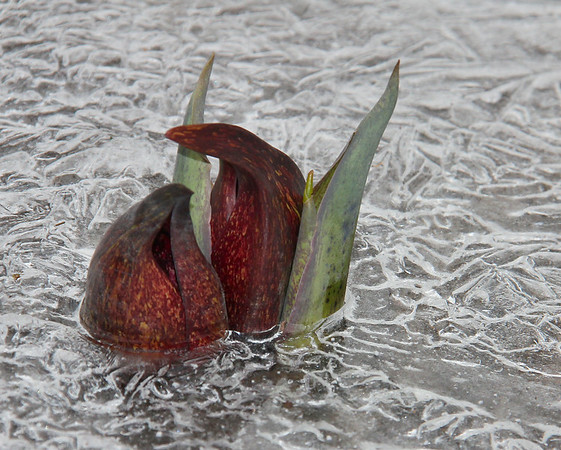 Skunk cabbage at Mounds Park is encased in ice in one of the streams flowing to the river.<br /> <br /> Photographer's Name: Jerry Byard<br /> Photographer's City and State: Anderson, Ind.
