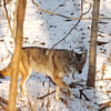 Coyote critters in my woods in Richland Township.<br /> <br /> Photographer's Name: J.R. Rosencrans<br /> Photographer's City and State: Alexandria, Ind.