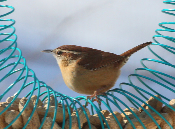 A Carolina wren at Mounds Park is sitting atop a peanut feeder.<br /> <br /> Photographer's Name: Jerry Byard<br /> Photographer's City and State: Anderson, Ind.