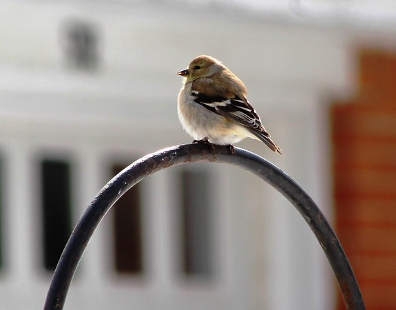 A female Goldfinch taking in the sun.<br /> <br /> Photographer's Name: Brian Fox<br /> Photographer's City and State: Anderson, Ind.