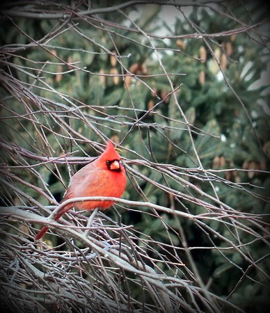 A cardinal in our weeping crabapple tree.<br /> <br /> Photographer's Name: Debra Howell<br /> Photographer's City and State: Pendleton, Ind.