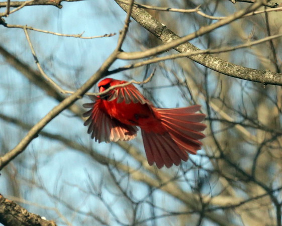 A cardinal landing on one of the bird feeders at Mounds State Park.<br /> <br /> Photographer's Name: Pete Domery<br /> Photographer's City and State: Markleville, Ind.