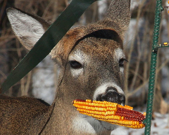 The deer at Mounds State Park like to sneak into the bird feeding area and enjoy corn on the cob.<br /> <br /> Photographer's Name: Jerry Byard<br /> Photographer's City and State: Anderson, Ind.