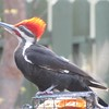 Love our male pileated. Comes here daily.<br /> <br /> Photographer's Name: Gracie Suko<br /> Photographer's City and State: Anderson, Ind.